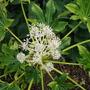 Fatsia_japonica_flower