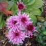 Pink_chrysanth