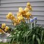 Iris_yellow_3