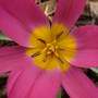 Tulipa pulchella