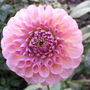Dahlia_name_unknown