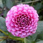 Dahlia.pom_pom_.pink_coronet.