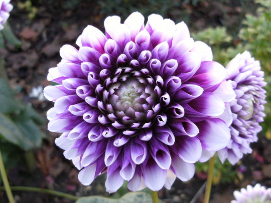 Dahlia ....  name unknown ...