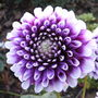 Dahlia_.name_unknown