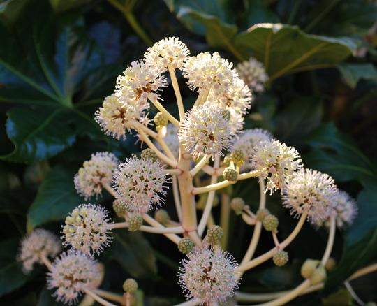 Fatsia Japonica flowers... (Fatsia japonica)