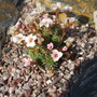 Another one of my saxifraga plants.