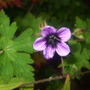 Close up of Geranium procurrens.