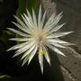 White Epiphyllum  (White Epiphyllum)