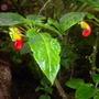 Impatiens niamniamensis - Congo Impatiens (Impatiens niamniamensis - Congo Impatiens)