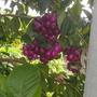 Syzygium paniculatum - Australian Brush Cherry (Syzygium paniculatum - Australian Brush Cherry)