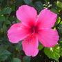 Hibiscus rosa-sinensis - Pink Tropical Hibiscus (Hibiscus rosa-sinensis - Pink Tropical Hibiscus)