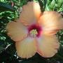 Hibiscus rosa-sinensis - Peach Tropical Hibiscus (Hibiscus rosa-sinensis - Peach Tropical Hibiscus)