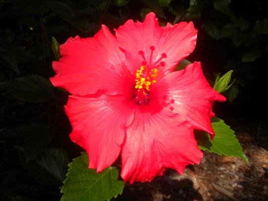 Hibiscus rosa-sinensis 'Brilliant' or 'San Diego Red' - Red Tropical Hibiscus Br (Hibiscus rosa-sinensis 'Brilliant' or 'San Diego Red' - Red Tropical Hibiscus)