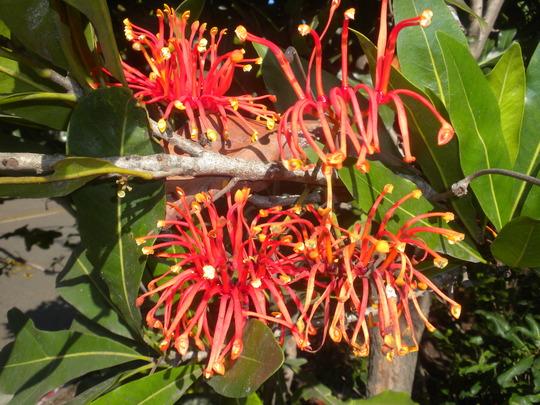 Stenocarpus sinuatus - Firewheel Tree (Stenocarpus sinuatus - Firewheel Tree)