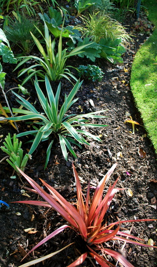 Phormiums and Yucca. (Phormium tenax (New Zealand flax) Pink Panther)