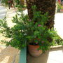 Polygata Myrtfolia
