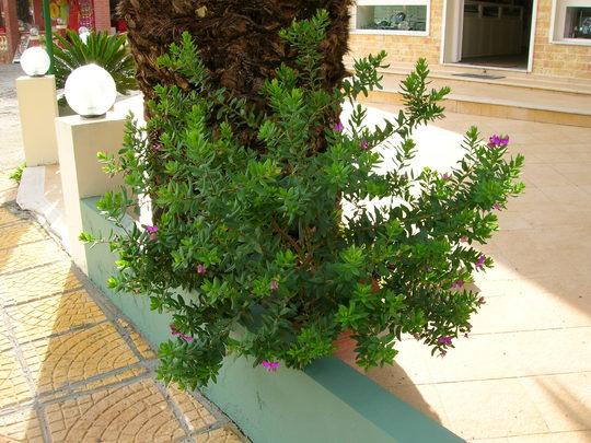 Polygata Myrtifolia
