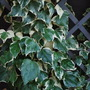 Ivy......... (Hedera colchica (Persian ivy))