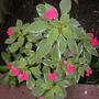 Pink Variegated-Leaf Impatiens (Pink Variegated-Leaf Impatiens)