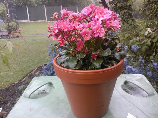 3 year old lewisia cotyledon (lewisia cotyledon)