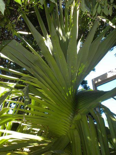 Pandanus tectorius - Screw Pine, Pandanus (Pandanus tectorius - Screw Pine, Pandanus)
