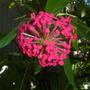 Rondeletia leucophylla -  Panama Rose (Rondeletia leucophylla -  Panama Rose)