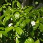Tabernaemontana fuchsiaefolia - Toad Tree Flowers (Tabernaemontana fuchsiaefolia - Toad Tree)