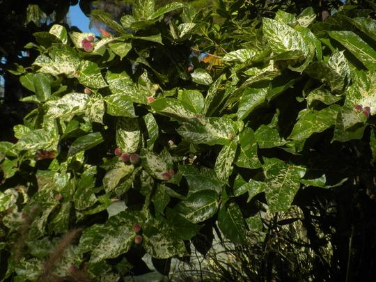 Ficus aspera 'Parcellii' - Clown Fig (Ficus aspera 'Parcellii' - Clown Fig)