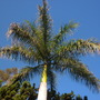 Roystonea regia - Royal Palm  (Roystonea regia - Royal Palm)