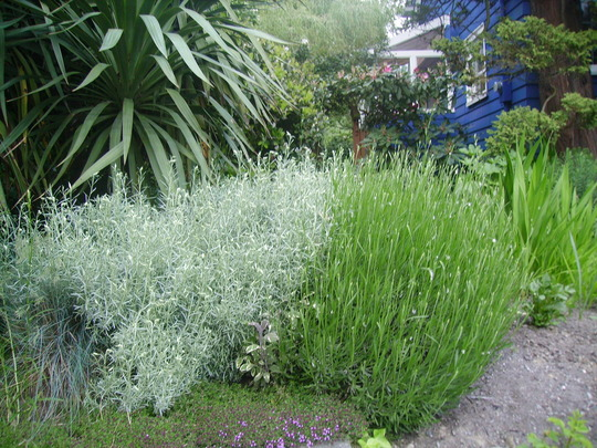 curry plant and lavender (Helichrysum italicum)