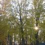 Weak sun of October thro the yellow maples