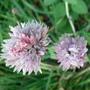 My Allium (Allium schoenoprasum)