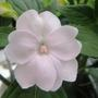 "impatiens ""new guinea"""