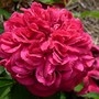 David Austin rose 'William Shakespeare 2000' (Rosa 'William Shakespeare 2000')