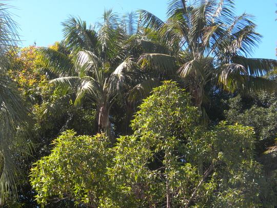 Tall Kentia Palms (Howea fosteriana) (Tall Kentia Palms (Howea fosteriana))