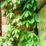 virginia creeper and jasmin