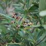 Olives......... (Olea europaea)