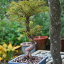 Bonsai with Plaited Bay. (Abies koreana)