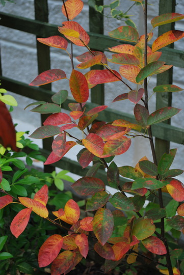 Autumn colours on Amelanchier Canadensis. (Amelanchier canadensis (Shadbush))