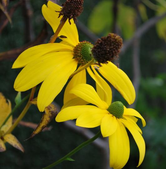 Rudbeckia herbstonne...... (Rudbeckia laciniata Herbstonne.)