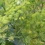 Fennel (Foeniculum vulgare (Bronze fennel))