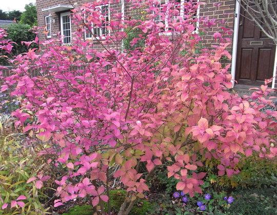 Callicarpa dichotoma (autumn foliage) - 2010 (Callicarpa dichotoma)