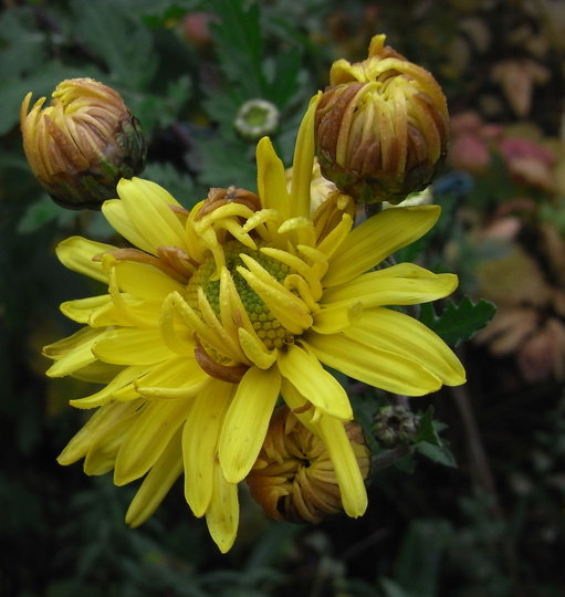 Chrysanthemum 1 - 2010 (Chrysanthemum)