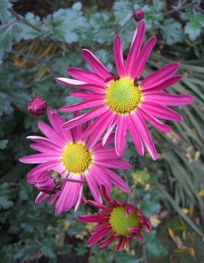 Chrysanthemum 2 - 2010 (Chrysanthemum)