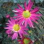 Chrysanthemum_2_2010