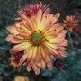 Chrysanthemum_3_2010