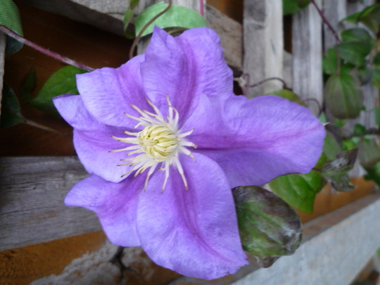 CLEMATIS COUNTESS OF LOVELACE