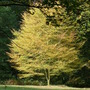 Fern-leaved Beech (From blog) (Fagus sylvatica (Common Beech))