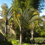 Dypsis decaryi - Triangle Palms at Paradise Point Resort, San Diego, CA. (Dypsis decaryi - Triangle Palm)