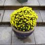 autumn flowering chrysanthemum
